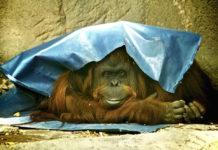 sandra jailed orangutan