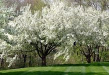 ornamental pear