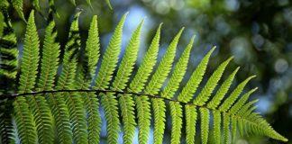 photosynthetic plant