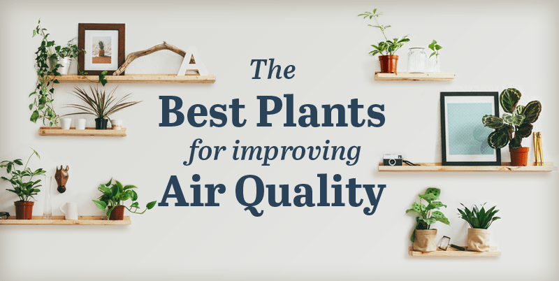The best plants for improving air quality infographic for Best plants to improve air quality