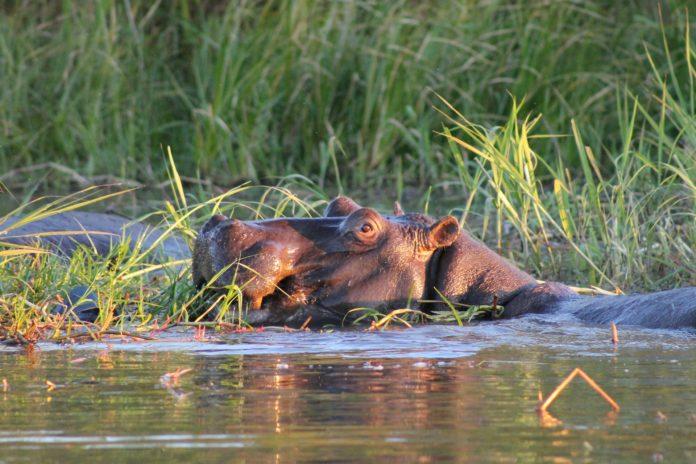 hippo in natural habitat