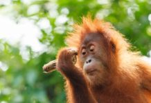 illegal-logging-leaves-borneo-orangutans-homeless