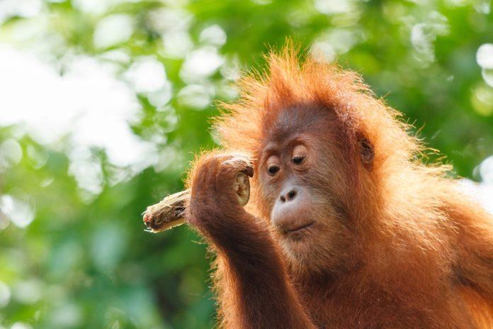 illegal-logging-leaves-borneo-orangutans-homeless