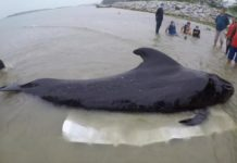one-dead-whale-80-plastic-bags-found-stomach