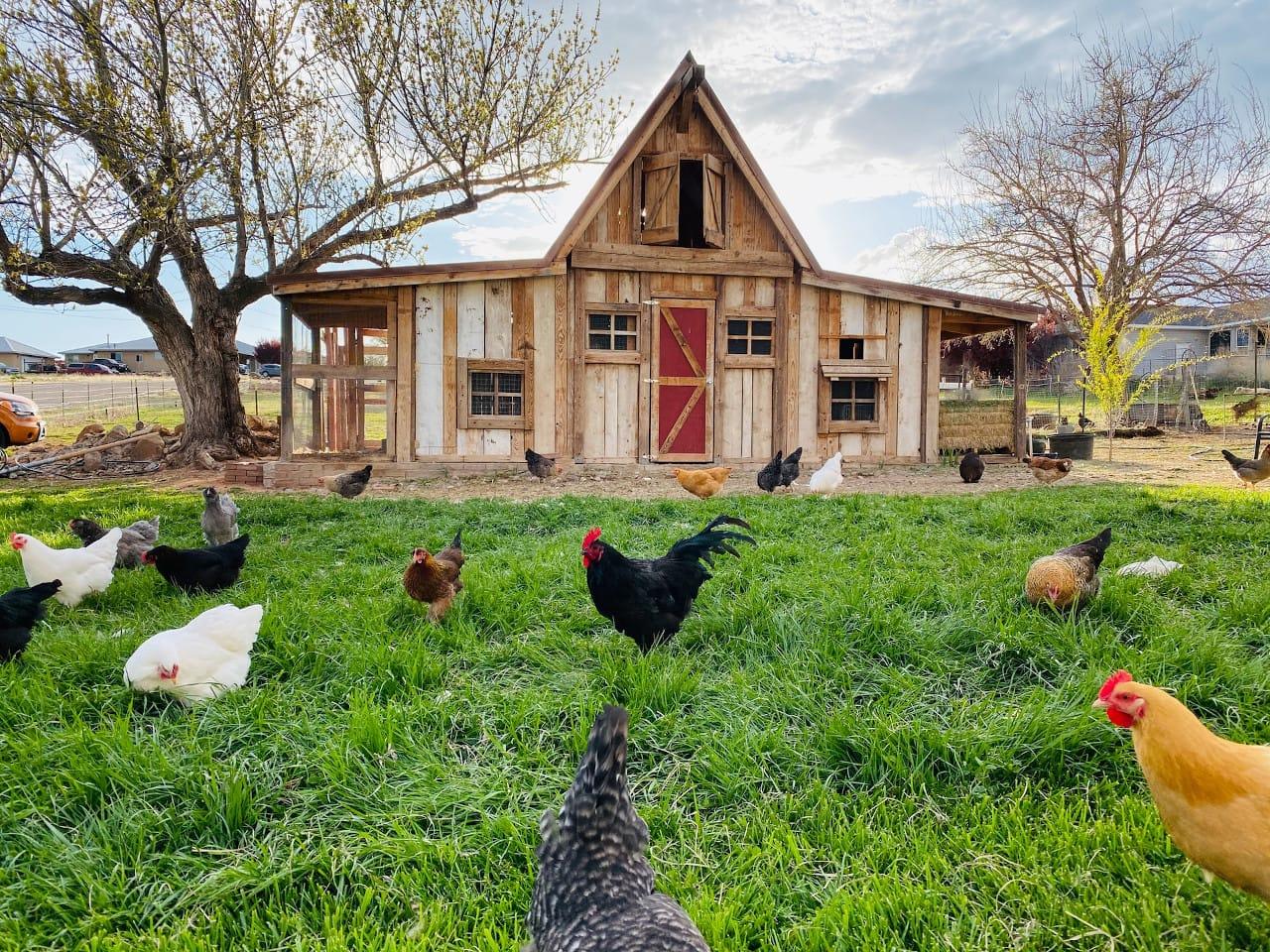 raise free range chicken at home