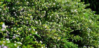 top-10-evergreen-shrubs-infographic