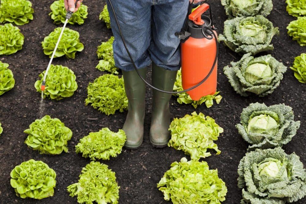 Organic gardener applying insecticides