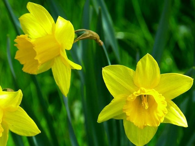 Bulb-plants-daffodils