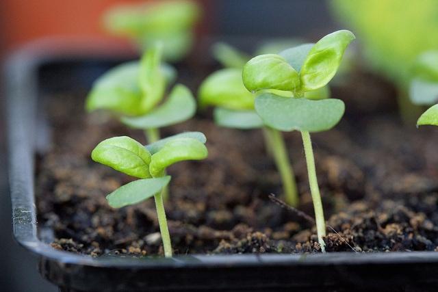 Tender-Sweet-seedlings