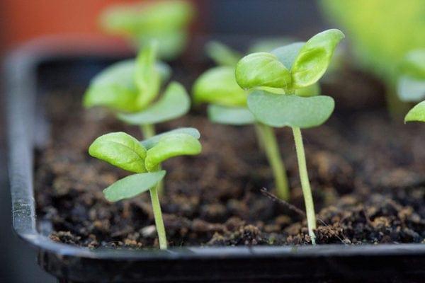 Tender-Sweet-seedlings-600x400