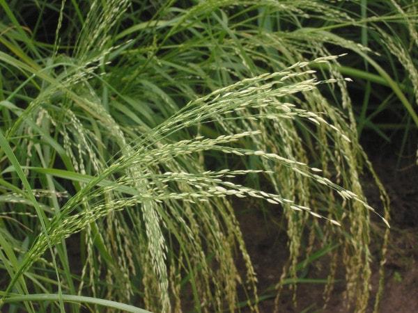 teff plant