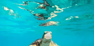 sea turtle with covid mask on