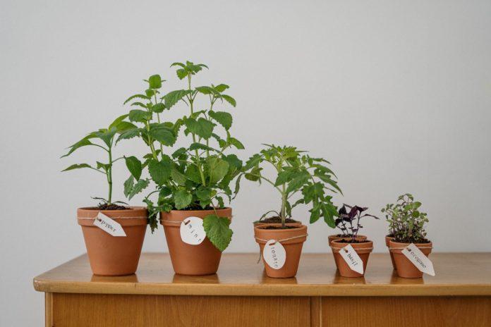 herbs to grow