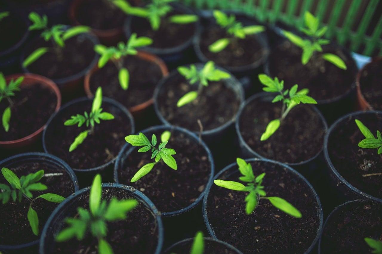 gardening for seniors - grow cherry tomatoes