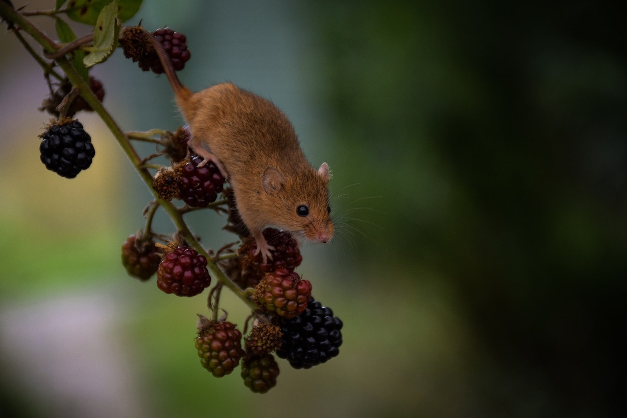 sustainable pest and rodent repellents