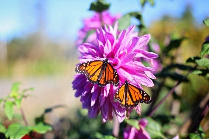 butterflies pollinating plants